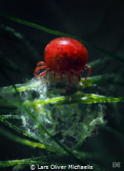 critters in Germany! water mite Elayis sp. (1-2mm), snoo... by Lars Oliver Michaelis