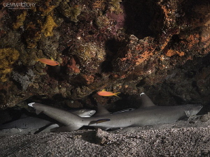 Whitetip reef sharks and a few upside down fish! by Gemma Dry