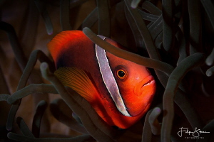 Tomato Anemonefish (Amphiprion frenatus) by Filip Staes