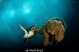 Green Turtle eating a jellyfish by Mark Gray