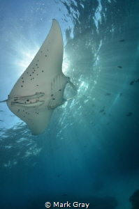 Manta Ray sunburst by Mark Gray