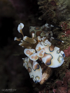 Harlequin Shrimp on Bikini Reef - Sodwana Bay ... Another... by Gemma Dry