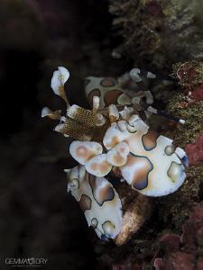 Harlequin Shrimp on Bikini Reef - Sodwana Bay ... Another... by Gemma Dry