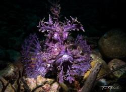INTENSITY Purple Rhinopias - Frondosa by Ton Ghela
