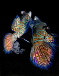 Mandarin fish laying eggs. Taken at sunset at Mabul islan... by Corina Swan