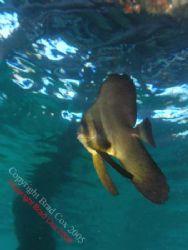 Batfish @ Navy Pier Exmouth Olympus 7070 by Brad Cox