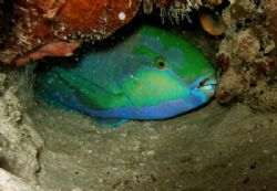 Parrotfish with protective coating to disguise scent from... by Alex Lim
