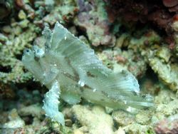 Leaf Scorpionfish taken at Sipadan Island, East Malaysia by Dennis Siau