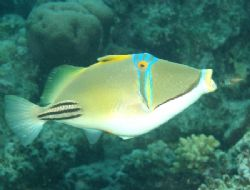 Picasso triggerfish taken with an olympus c 60 by Anel Van Veelen