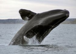 jumping Southern Right Whale , Puerto Pirámides / Patagonia by Ralf Levc