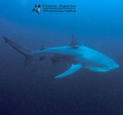 again one of my favourite sharks- but this time a zambezi... by Fiona Ayerst