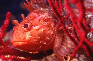 "Scorpion Fish (""Rascasse""), Mediterranean Sea (Cassis), N... by Phil Lenz"