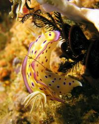 These Chromodoris Kunei slugs are my 2nd favourites... Ta... by Rob Spray