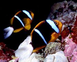 'WINGMAN' Orangefin Anemonefish. Housed Nikon F; Niko Mar... by Rick Tegeler