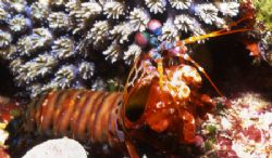 Mantis Shrimp by David Spiel