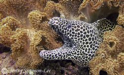 A Large Honeycomb Moray sitting in the shallows. Muscat O... by Jonny Simpson-Lee