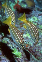 The trio. The species is Parapristipoma octolineatum, and... by Arthur Telle Thiemann