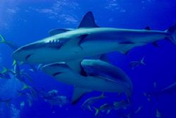 Marauding Reef Sharks. Image taken in January,2006 while ... by Allan Vandeford