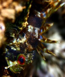Young Scorpionfish lying vertically in wait. by Mathew Cook