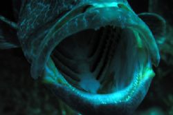 open mouth grouper by Guja Tione