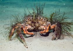 Spider Crab, Cable Bay - North Wales. by James Garland