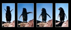 moving Rockhopper(Felsenpinguin), Puerto Deseardo / Patag... by Ralf Levc