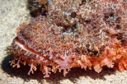 Titan Scorpionfish, Ohahu North Shore. Photographed this ... by Glenn Poulain