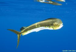 Dolphinfish, all alone in the middle of the ocean.  by Corina Swan