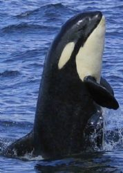 Breaching baby Orca. this young whale popped up right in ... by James Dorsey