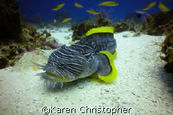 Splendid Toad Fish shot in Cozumel, Mexico using a Canon ... by Karen Christopher