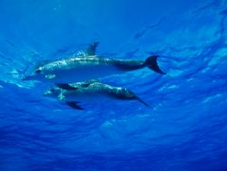 The amazing Spotted Dolphins of the Bahamas; probably a m... by Andrew Dawson