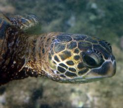 Teenage Turtle. This young Hawaiian Sea Turtle was eating... by Mathew Cook