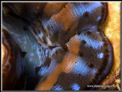 Closeup of a juvenile giant clam by Yves Antoniazzo