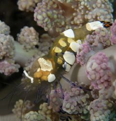 See through shrimp Tulamben Bali Olympus 7070 by Brad Cox