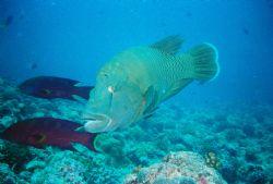Napoleon Wrasse. Taken on my last dive in Palau at Blue C... by Morgan Ashton