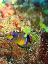 Juvenille Queen Angelfish under a tiny ledge. I couldn't ... by Brian Mayes