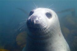 Grey seal watching Mark not me. North Wales. by Derek Haslam