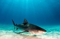 Tiger Shark at Tiger Beach. D2x 15mm. by Rand Mcmeins