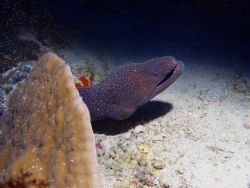 Big moray just looking around. Small Brother Island, Red Sea by Guido Bonomo