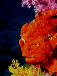Frogfish sitting on his pinnacle at 105 feet. Olympus C-8... by Peter Baerentzen
