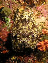 Slipper lobster on night dive in Raja Ampat by Dawn Watson