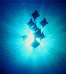 Cownose Rays, Galapagos Islands (Nikon F4, 24/2.0, Aquati... by Andrew Dawson