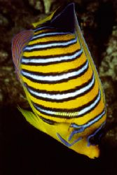 Emperor Angelfish , Hurghada / Red Sea by Ralf Levc