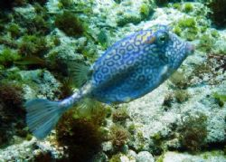 This Cowfish was seen this April in Isla Mujeres. The pho... by Bonnie Conley