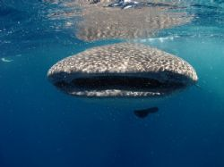 This junior whaleshark loved playing with the boats and s... by Martin Spragg
