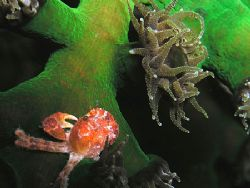 Small red crab on blooming coral at night. Taken under th... by Nick Hobgood