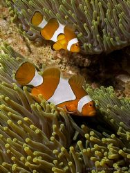 Anemonefish on patrol. Olympus C-8080WZ / Ikelite DS-125 by Peter Baerentzen