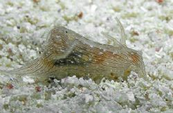 The Blue-Ring Sea Hare is pretty rare, and this is the fi... by Jim Chambers