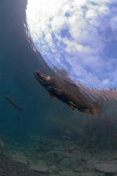 Rainbow trout,(Hookie). Capernwray. 10.5mm. by Derek Haslam