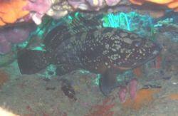 Dusky grouper by Hakan Taslicay